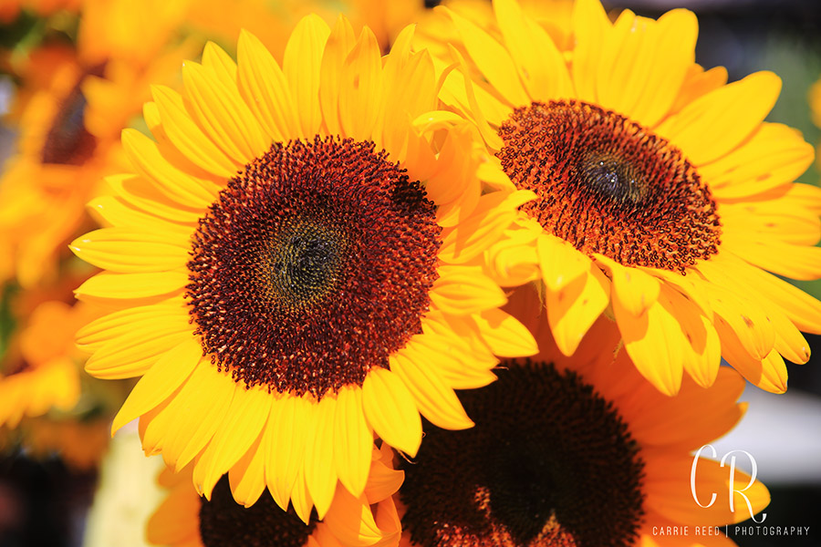 Virginia_Cville_Sunflowers