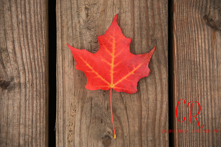 minneapolis_red-leaf-on-wood_wm